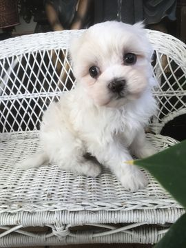Maltese puppy for sale in LOS ANGELES, CA. ADN70678 on