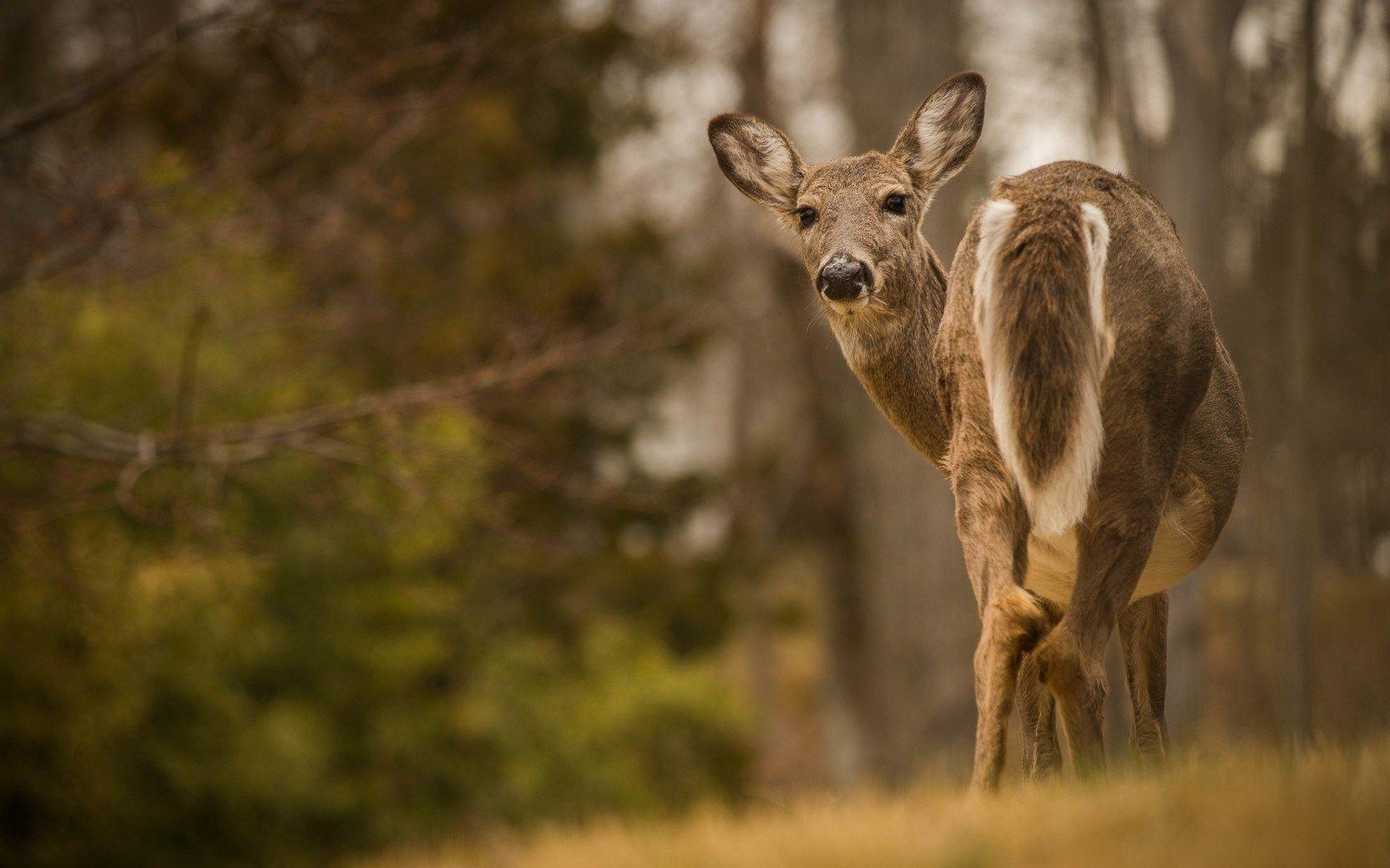 Fellow Deer Reh Summer Landscape Sommer Szenerie