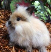 Lionheart Bunnies Lake City Pets For Sale Classifieds City Pets Pets For Sale Pets