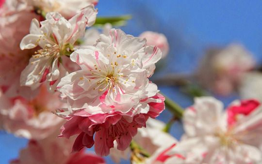 Blossoms Of The Weeping Peach Tree Japanese Name Peach Trees Peach Blossoms Blossom