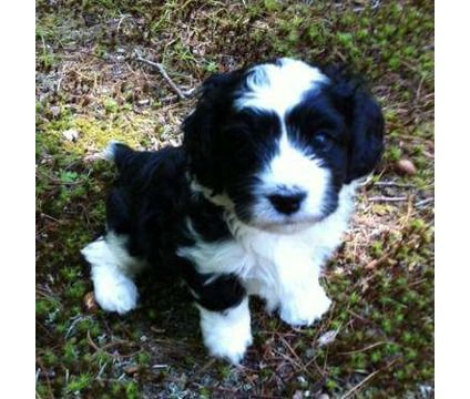 Black and white cavapoo puppy. He shall be mine and I