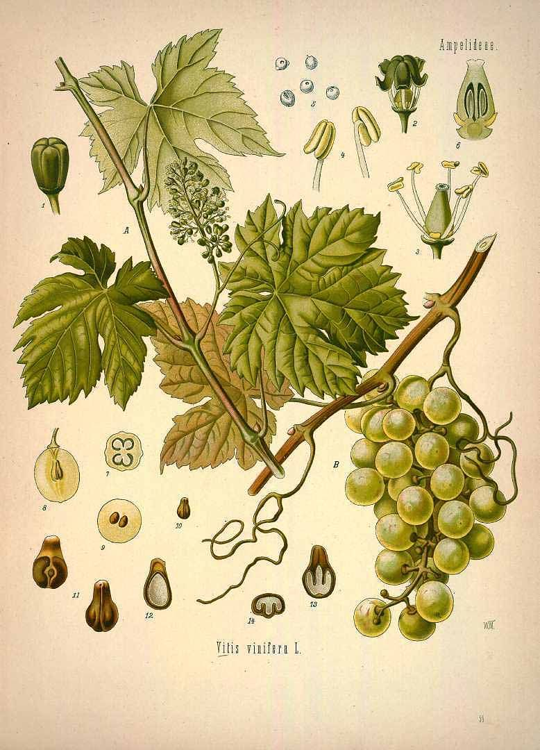 vitis vinifera l. grape, vine köhler, f.e., medizinal pflanzen, vol