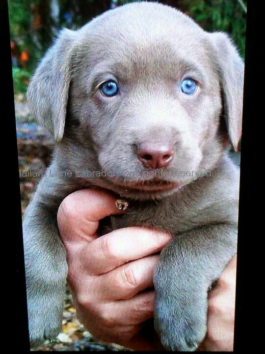 3 The Way To My Heart Lab Puppies Silver Lab Puppies Puppies