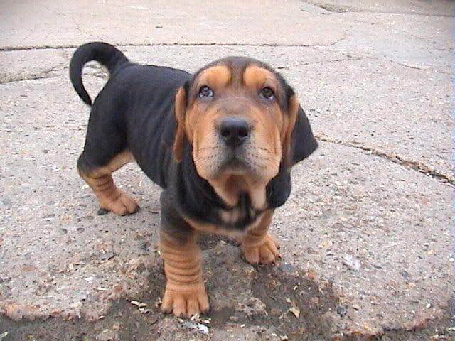 10 Heart Melting Basset Hound Mix Breeds To Aww Over Puppy Dog