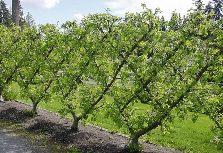 Gardeners have been pruning fruit trees into interesting for Garden trees types