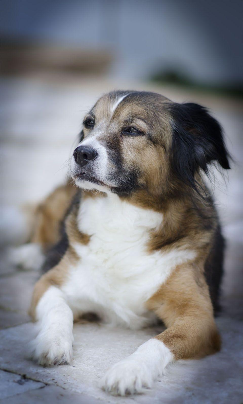 Beagle Sheltie Mix Rescue Dog Pet Photography Naples Florida
