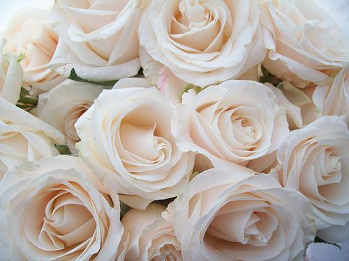 Champagne Roses Beautiful Colour Flowers White Roses Cream Roses