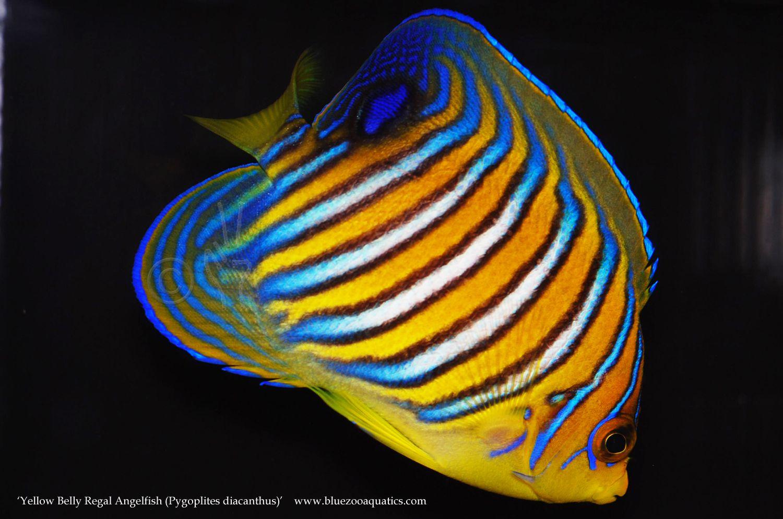 Collectors Choice Wysiwyg Item Yellow Belly Regal Angelfish Pygoplites Diacanthus Angel Fish Fish Pet Yellow