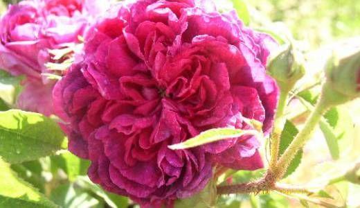 rosa Nouveau Vulcain vivaio La Campanella | Fiori, Vivaio e