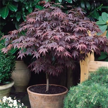 Acer palmatum Bloodgood - Japanese Maple #japanesemaple Acer palmatum Bloodgood - Japanese Maple #japanesemaple Acer palmatum Bloodgood - Japanese Maple #japanesemaple Acer palmatum Bloodgood - Japanese Maple #japanesemaple Acer palmatum Bloodgood - Japanese Maple #japanesemaple Acer palmatum Bloodgood - Japanese Maple #japanesemaple Acer palmatum Bloodgood - Japanese Maple #japanesemaple Acer palmatum Bloodgood - Japanese Maple #japanesemaple