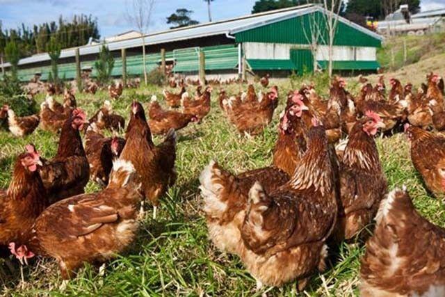 Estas gallinas corren felices en granjas al aire libre