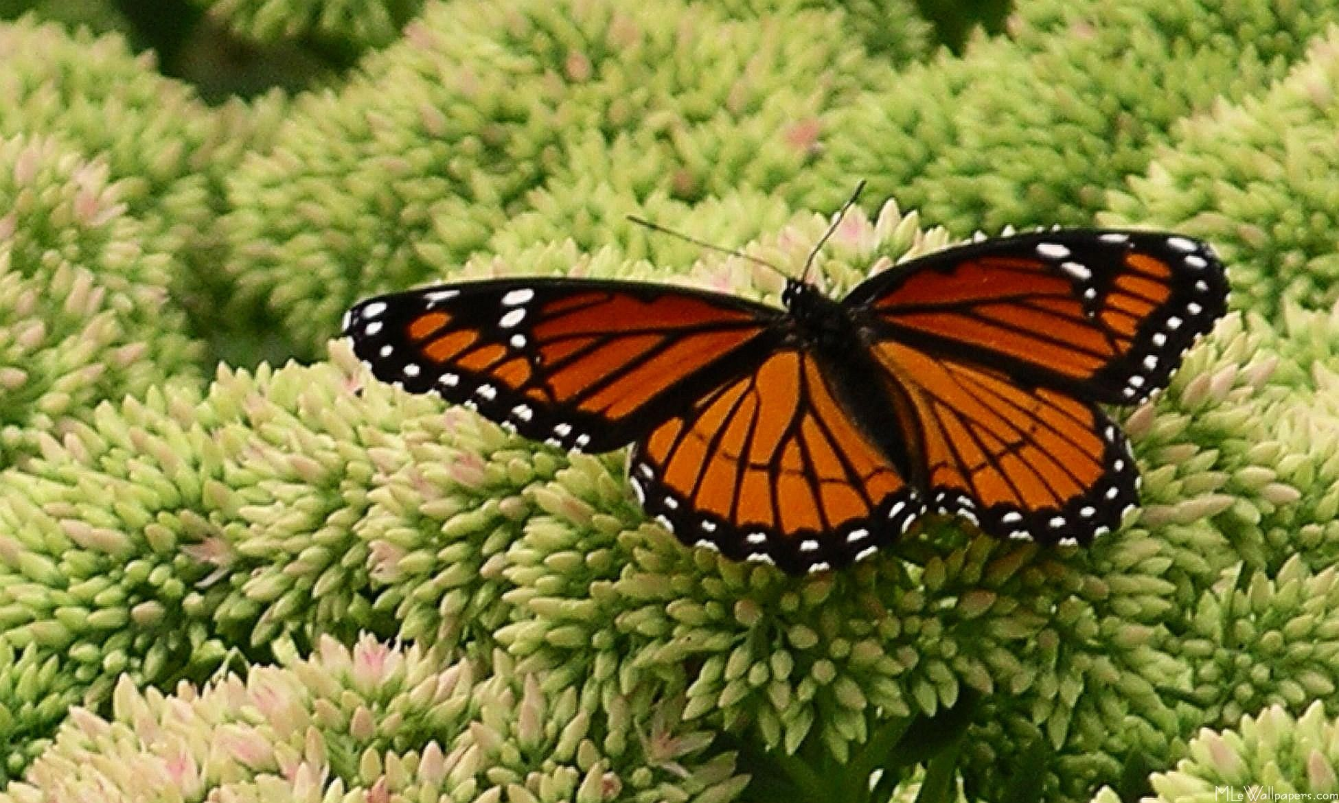 MLeWallpapers.com - Viceroy Butterfly
