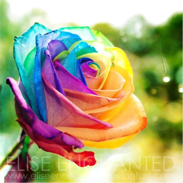 Rainbow colors objects complementary colors colors for How to color roses rainbow