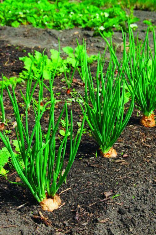 Culture de l'échalote et de l'ail Potager garden, Garden