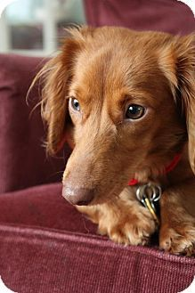 Pataskala Oh Dachshund Meet Lucille A Dog For Adoption Http