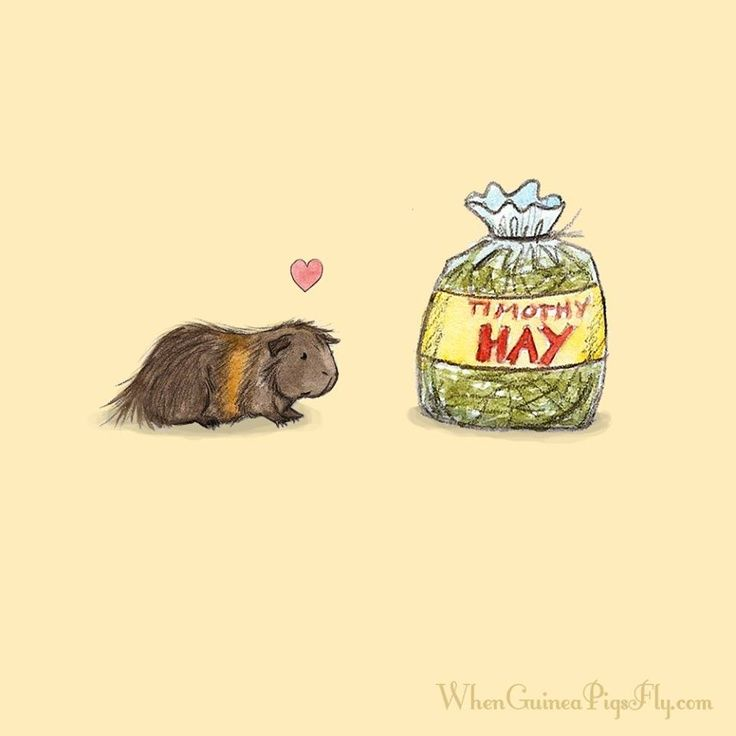 diet #guineapig Got hay? Grass hay is a staple of the guinea