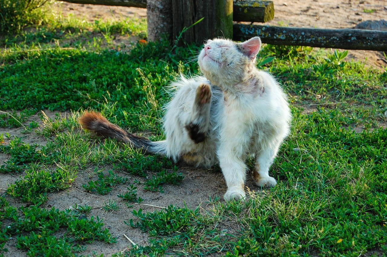 How To Check Your Cat For Fleas Cat Fleas Flea Shampoo For