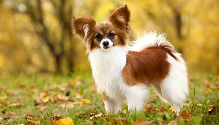 20 World S Best Toy Dog Breeds Cute Small Dogs Dog Breeds Cute