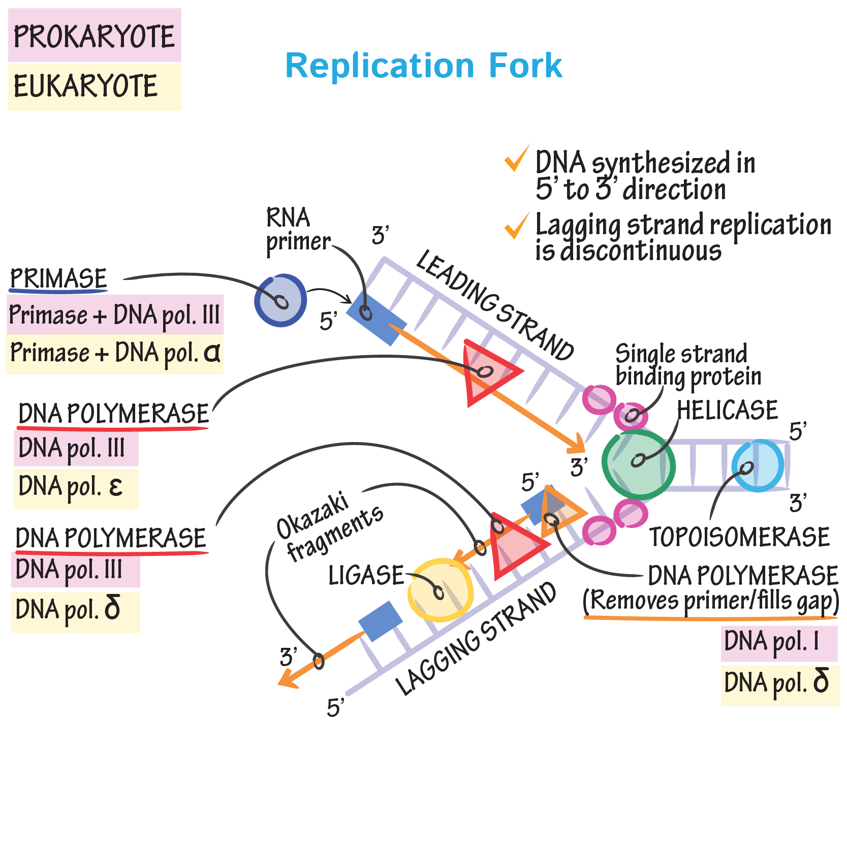 Replication Fork Draw It to Know It Molecular
