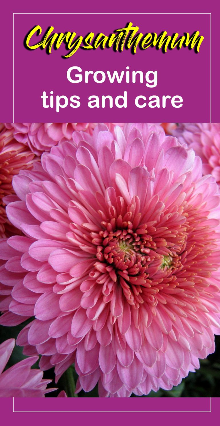 How To Grow Chrysanthemums In Pots Growing Chrysanthemums And Care Naturebring Chrysanthemum Growing Chrysanthemum Plant Chrysanthemum Flower
