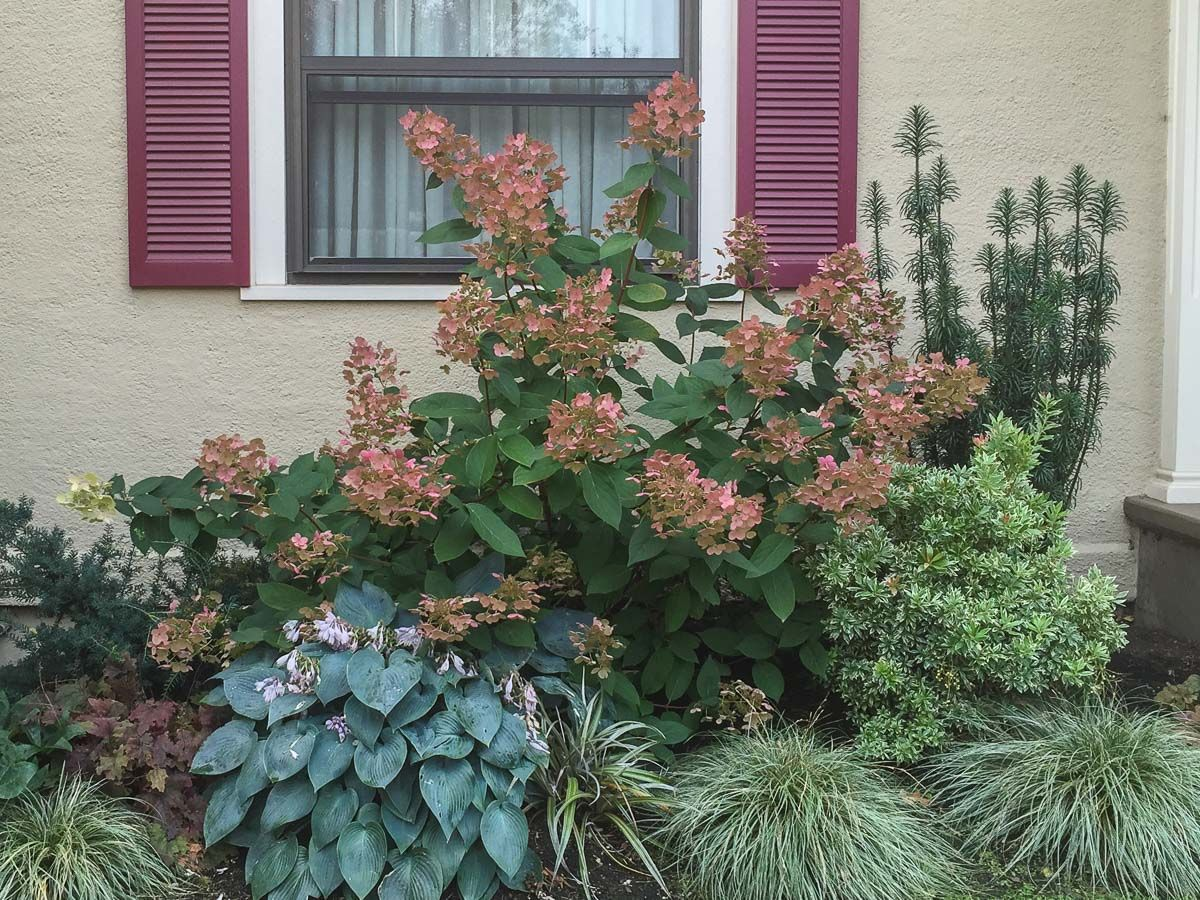Plant Combo Featuring Quick Fire Hydrangea Quick Fire Hydrangea Plants Hydrangea Landscaping