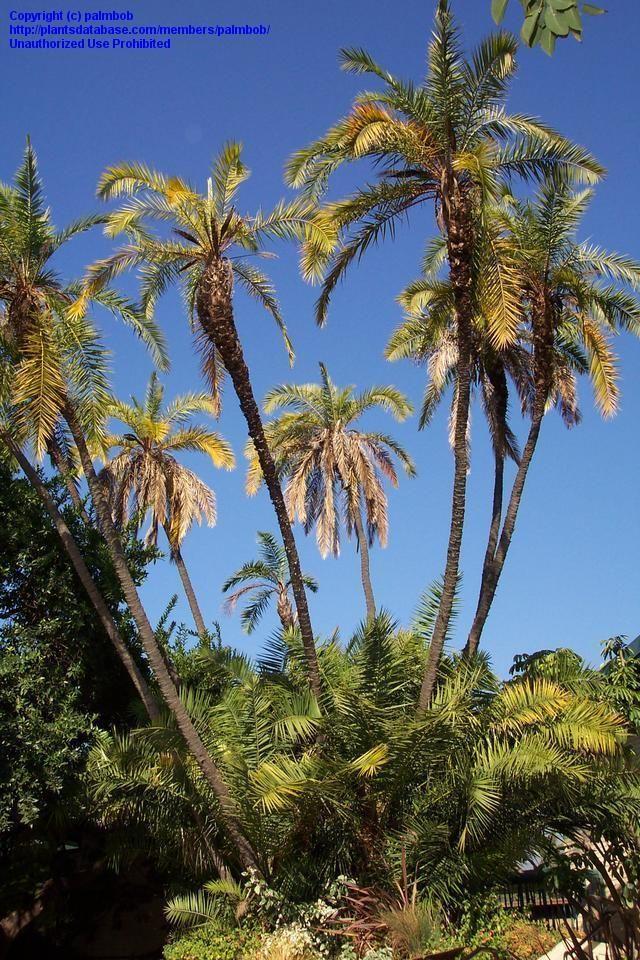 Senegal Date Palm (Phoenix reclinata) .. tough to find non ...