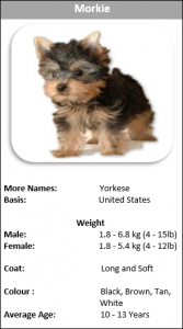 Do You Know About The Famous Dog S Designer Breed Morkie Is The Right Name It Is A Cross Morkiesbetween Pubered Maltese And Yorkshire Terrier Their Ori Morkie