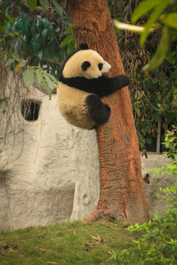 Baby panda climbing the tree in Chengdu Panda Base. #china #sichuan #travel