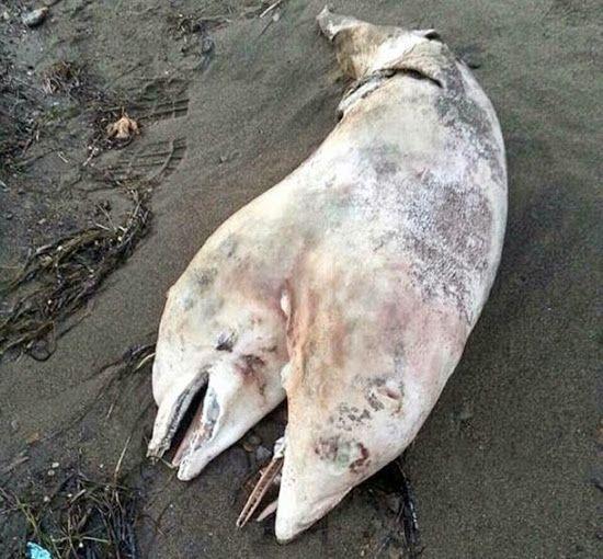 Um bizarro golfinho de duas cabeças foi encontrado recentemente numa praia na Turquia, de acordo com a imprensa turca.