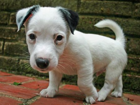 chihuahua jack terrier mix for sale chihuahua jack russell mix puppies for sale pete the 9567