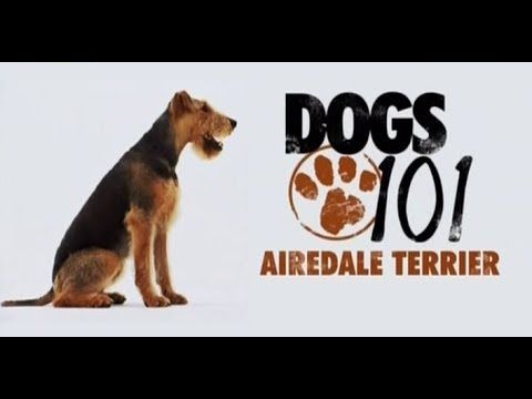 Airedale Terrier Dogs 101 Goldenacresdogs