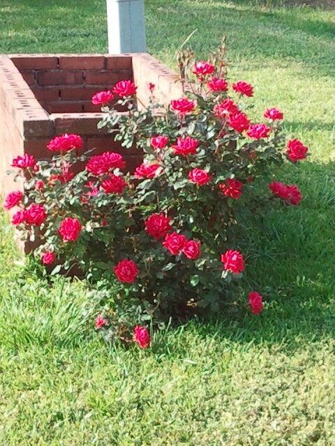 Knockout Rose Bushes Knockout Roses Bush Rose Bush