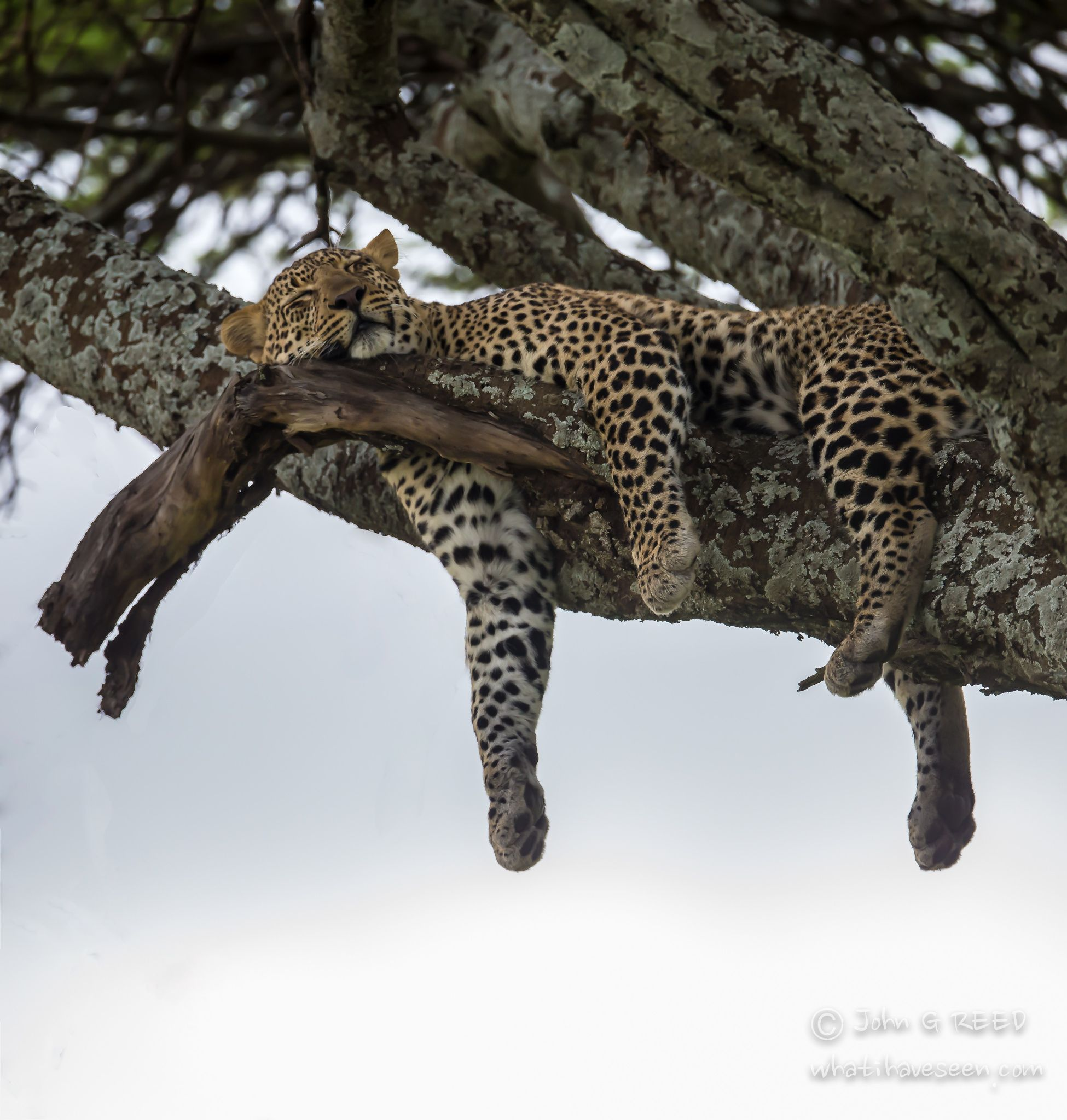 Cat nap time.   Leopard fast asleep without a care in the world. -