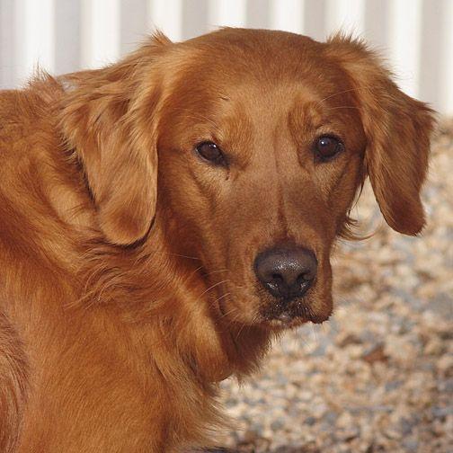 Golden Retriever Lab Mix Have You Discovered The Goldador Dog