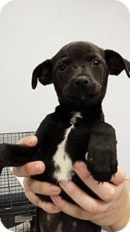 Branson, MO - Chihuahua/Miniature Pinscher Mix. Meet Drew a Puppy for Adoption.