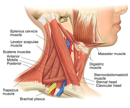 common causes of neck pain | anatomía y estiramientos | pinterest, Human Body