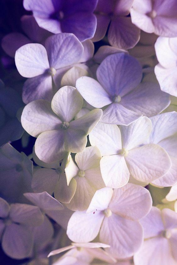 Hydrangea Flowers Photography Hydrangea Wallpaper Flower Wallpaper