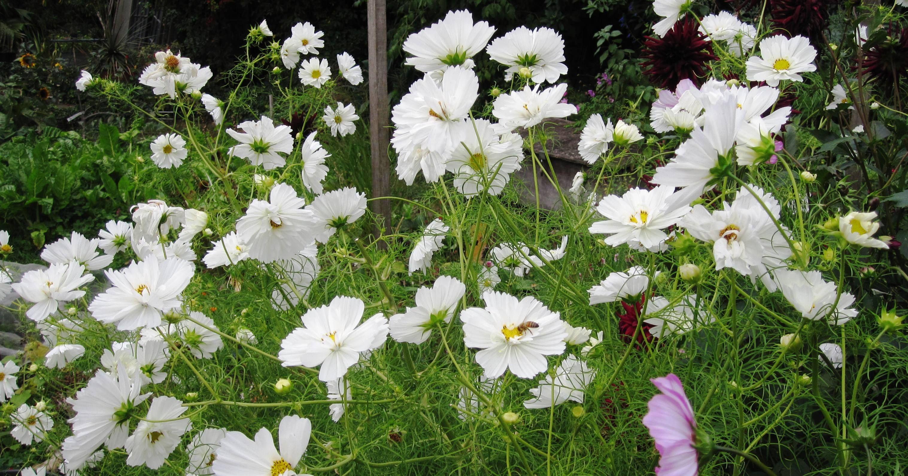 White Cosmos Flower Cosmos Psyche White White Flowers Pinterest