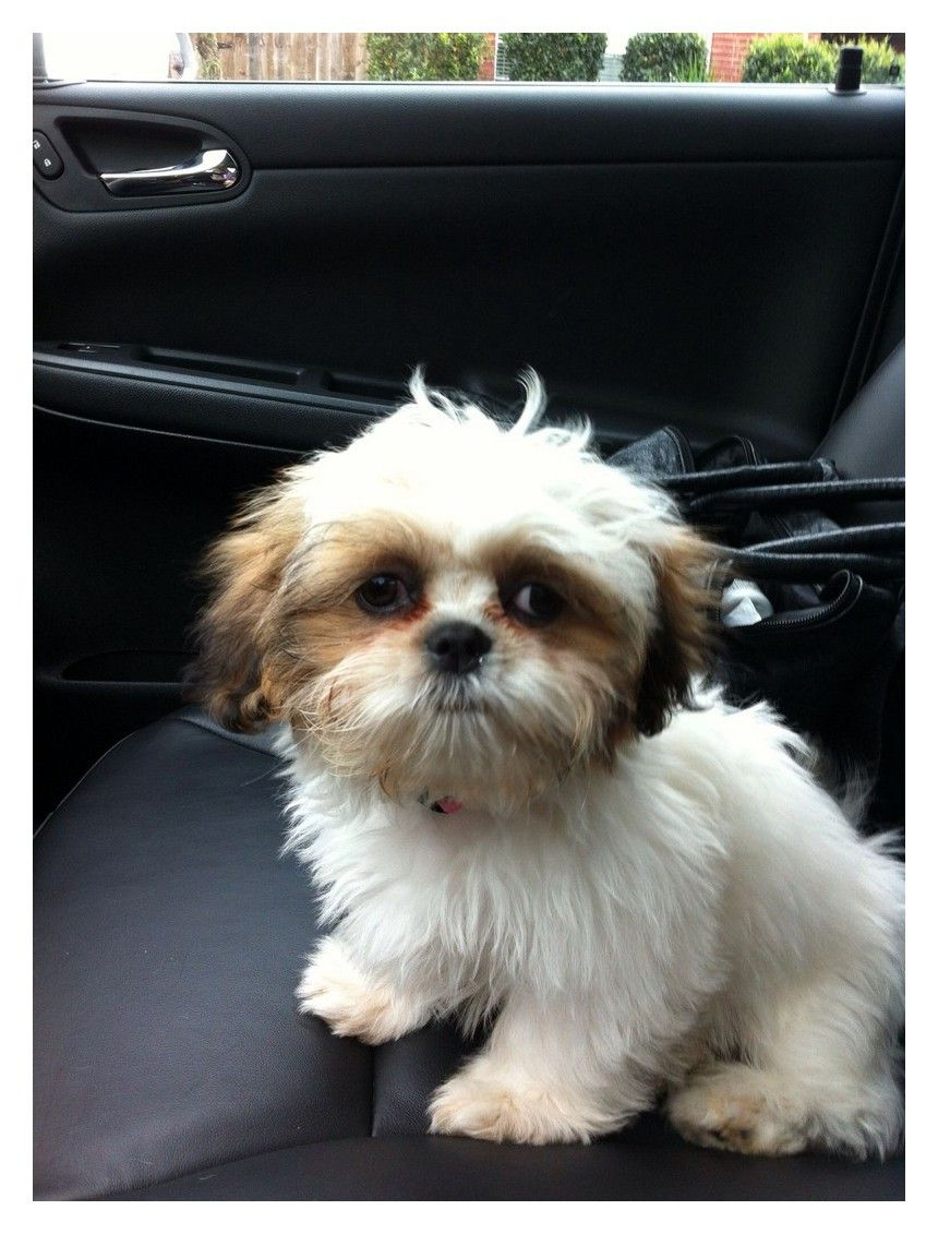 Read These Tips To Be The Best Dog Owner Possible Shih Tzu