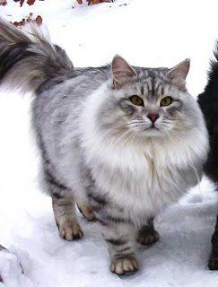 Cats Siberian Cats Siberian Cat Cat Breeds Siberian Kittens