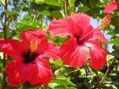 Hibiscus Hibiscus Flower Drawing Hibiscus Plant Hibiscus