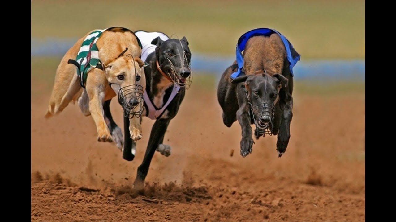 Greyhound Dog Racing Jerseygroovyfilms From Finland To The