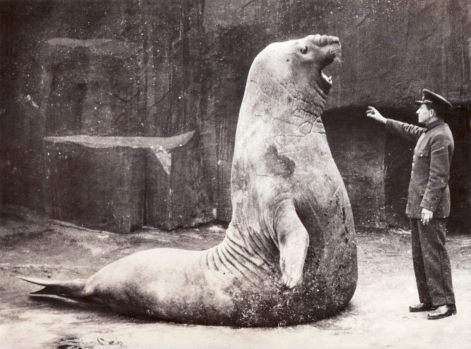 Will the Elephant Seals lead to another lineage of Giant ...