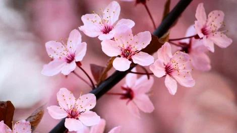 Local And Regional Cherry Blossom Festivals Flowers Photography Cherry Blossom Flowers Flowers Photography Wallpaper
