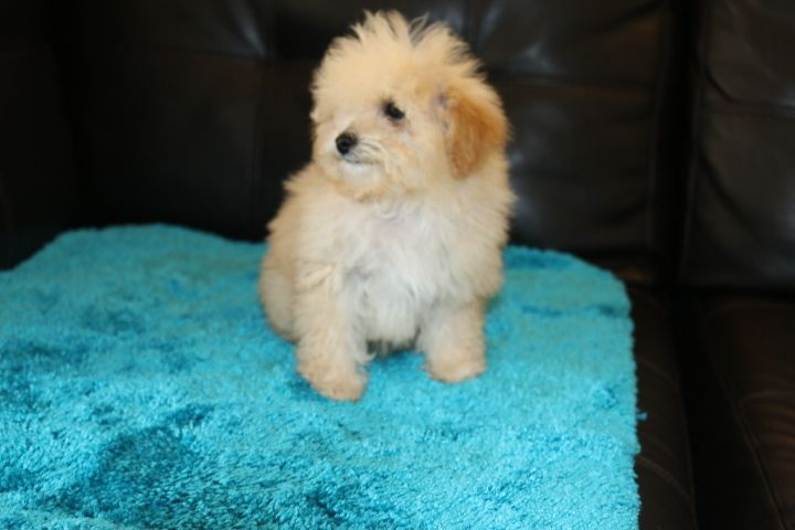 Goldendoodle Puppy For Sale In Phelan Ca Adn 32456 On Puppyfinder Com Gender Male Goldendoodle Puppy For Sale Goldendoodle Puppy Mini Goldendoodle Puppies