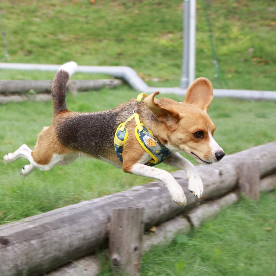Jump beagle jump beagles pinterest beagle dog and beagle dog