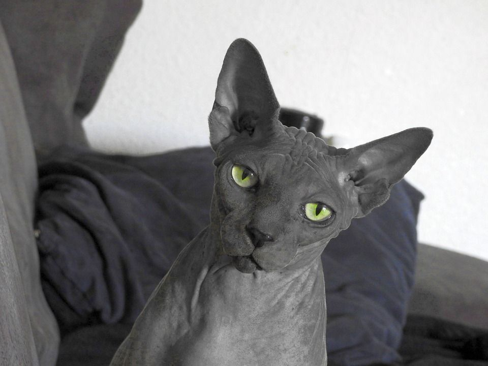 The Bambino Cat Breed Why It is a Wonderful Hairless