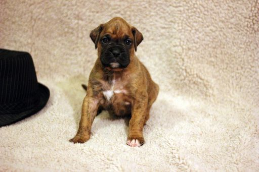 Boxer puppy for sale in OZARK, MO. ADN23485 on