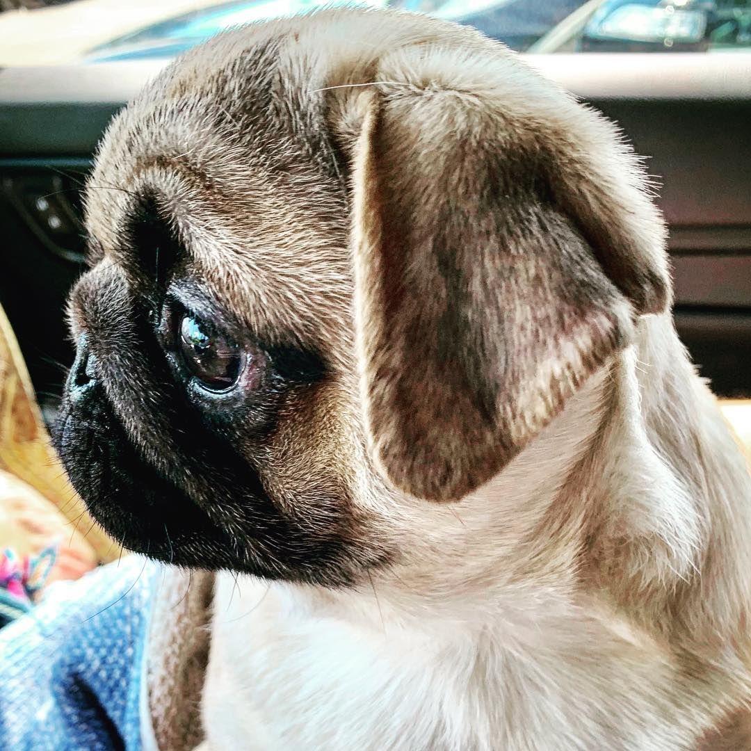Most Beautiful Profile Pug Pugs Dog Dogs