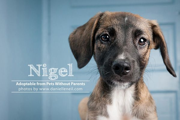 Nigel Is A Shepherd Hound Puppy Adoptable From Www Petswithoutparents Net In Columbus Ohio Dog Kisses Rat Terrier Dogs Hound Puppies